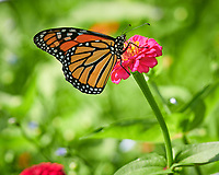 Monarch butterfly feeding on Zinnia flower. Image taken with a Nikon D850 camera and 100-500 mm f/5.6 VR lens