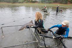 Stephanie Crawford Putting Leopard Shark Into Pen