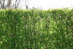 New fresh green leaves of hawthorn hedge in spring. Crataegus monogyna
