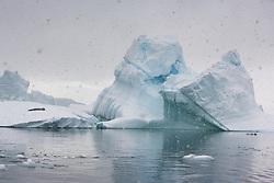 Crabeater Seal (Lobodon caecinophagus) in snow on iceberg in Plenau Bay, Antarctica