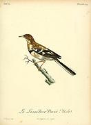 Lavandière variée from the Book Histoire naturelle des oiseaux d'Afrique [Natural History of birds of Africa] Volume 4, by Le Vaillant, Francois, 1753-1824; Publish in Paris by Chez J.J. Fuchs, libraire 1805