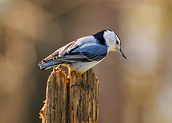 A Nuthatch stopped on a perch to pose long enough for a quick snap