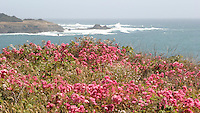wild roses Mendocino Headlands state park