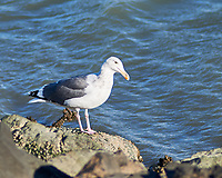 Herring Gull (Larus argentatus). Oyster Cove, South San Francisco, California. Image taken with a Nikon D3x camera and 180 mm f/2.8 lens.