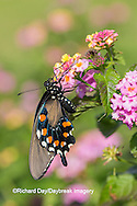 03004-01419 Pipevine Swallowtail butterfly (Battus philenor)  male on pink lantana, Marion Co., IL
