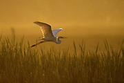 Great Egret in flight over swamp at sunrise - Mississippi