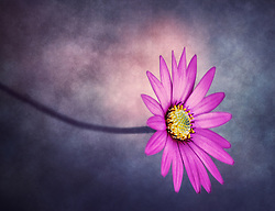 A soft violet daisy reaches through a daydream to find the light.