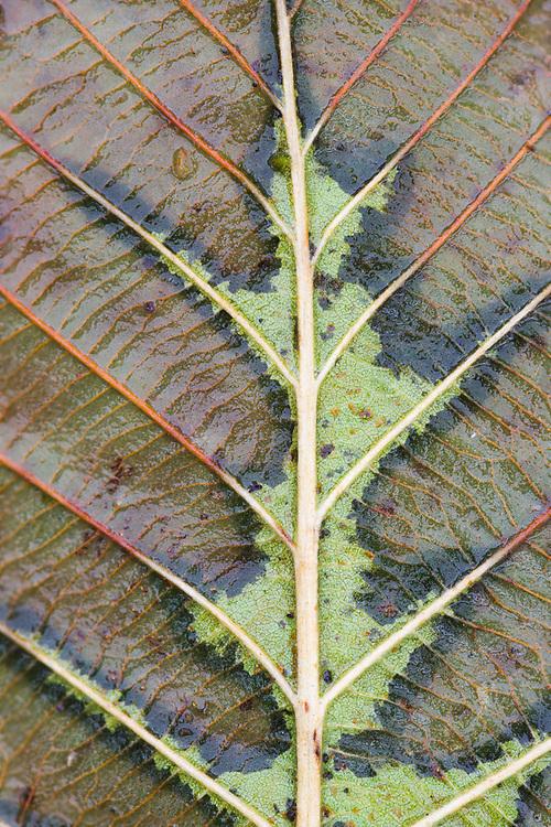 Alder leaf, Clallam County, Olympic Peninsula, WA, USA