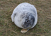 Grey Seal pup, Halichoerus grypus, Donna Nook National Nature Reserve, Lincolnshire, UK,