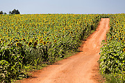 Delfinopolis_MG, Brasil.<br /> <br /> Producao de Girassol na agricultura familiar. Na foto, plantacao de girassol na fazenda Sao Francisco em Delfinopolis, Minas Gerais.<br /> <br /> Sunflower production on family farms. In the photo, sunflower plantation in Sao Francisco Passos farm in Delfinopolis, Minas Gerais.<br /> <br /> Foto: LEO DRUMOND / NITRO