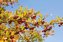 Berries of Cockspur thorn. Crataegus crus-galli