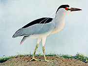 The black-crowned night heron (Nycticorax nycticorax), or black-capped night heron, commonly shortened to just night heron in Eurasia, is a medium-sized heron found throughout a large part of the world, From Birds : illustrated by color photography : a monthly serial. Knowledge of Bird-life Vol 1 No 1 June 1897