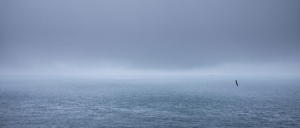 The Atlantic Ocean sea view of bird in flight in dark sky flying over calm sea from Skomer Island, South West Wales