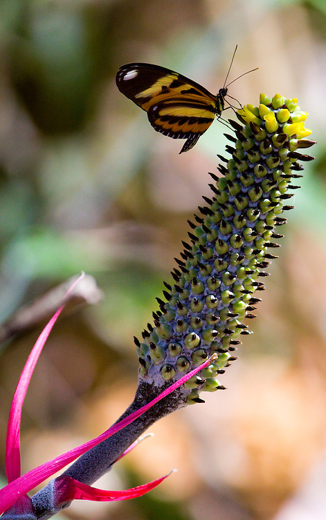 Nova Lima_MG, Brasil...Borboleta em uma bromelia no condominio Passargada...A butterfly on the bromeliad in the condominium Passargada...Foto: JOAO MARCOS ROSA / NITRO