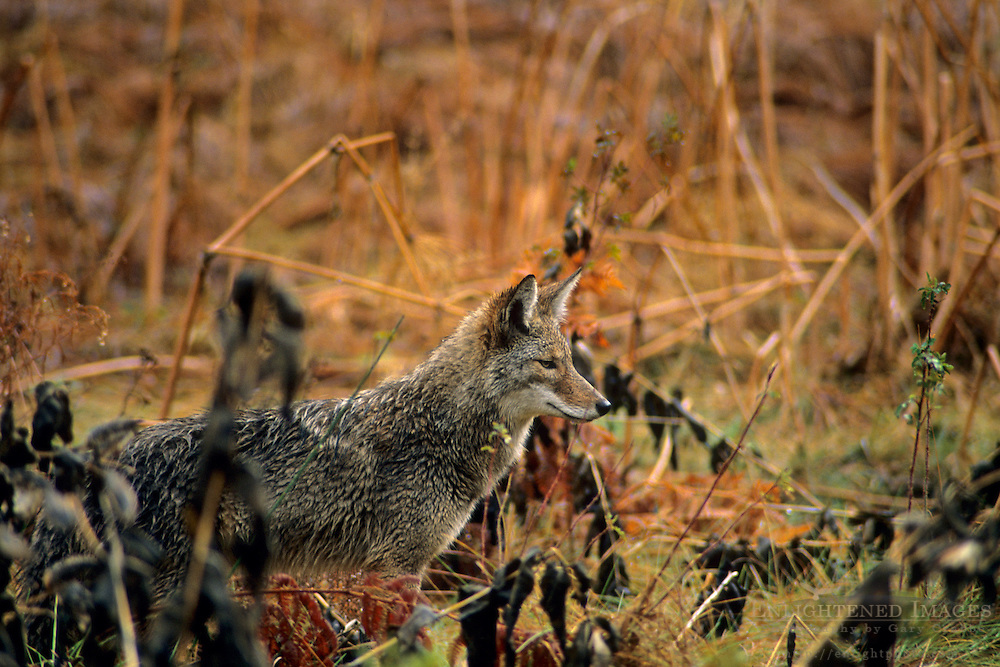 Coyote in Cooks Meadow, Yosemite Valley, Yosemite National Park, CALIFORNIA