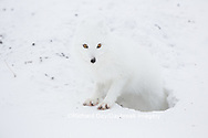 01863-01716 Arctic Fox (Alopex lagopus) at food cache, Cape Churchill, Wapusk National Park, Churchill, MB Canada
