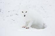 01863-01716 Arctic Fox (Alopex lagopus) at food cache, Cape Churchill, Wapusk National Park, Churchill, MB Canada