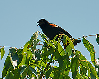 Red-winged Blackbird. Sourland Mountain Preserve. Image taken with a Nikon D3s camera and 80-400 mm VR lens.