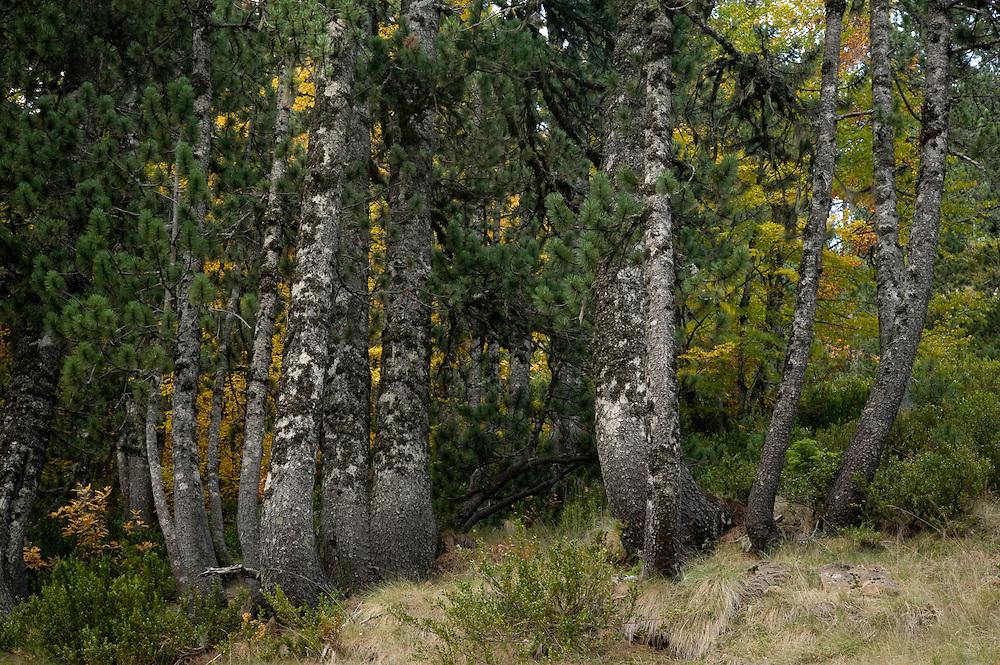 Greece, Pindos Mountains, Pindos NP, Valia Calda, Pine trees in Valia Calda,