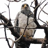 Black-chested Buzzard Eagle
