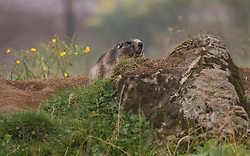 THEMENBILD - ein Alpen Murmeltier vor seinem Bau, aufgenommen am 10. August 2018 in Kaprun, Österreich // an alpine marmot in front of his burrow, Kaprun, Austria on 2018/08/10. EXPA Pictures © 2018, PhotoCredit: EXPA/ JFK