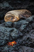 Galapagos Fur Seal (Arctocephalus galapagoensis) <br /> GALAPAGOS ISLANDS<br /> ECUADOR.  South America<br /> These are the smallest of the world's 7 species of fur seals with males only reaching 65-80kg's. They are found mostly in the upwelling zones  in the west of the archipelago. They are usually quite solitary and avoid body contact with other fur seals, preferring to be in the shady lava crevices. They are nocturnal feeders and thus have very large eyes and good nocturnal vision. <br /> ENDEMIC TO GALAPAGOS.