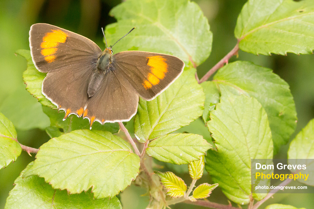 Brown hairstreak female butterfly (Thecla betulae). Dorset, UK.