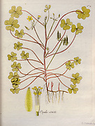 Common Yellow Woodsorrel (Oxalis stricta). Illustration from 'Oxalis Monographia iconibus illustrata' by Nikolaus Joseph Jacquin (1797-1798). published 1794