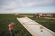 Picking cantaloupes outside of Firebaugh, CA, the heart of melon country. California produces over 60% of the cantaloupes grown in the United Sates, and more than two-thirds of those come from this stretch of farmland in the southern San Joaquin valley.
