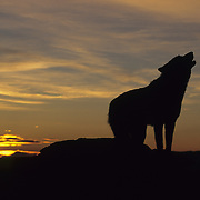 Gray Wolf howling during sunset in the Rocky Mountains. Captive Animal