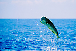 mahi-mahi or common dolphin fish, Coryphaena hippurus, bull, leaping, Kona, Big Island, Hawaii, USA, Pacific Ocean