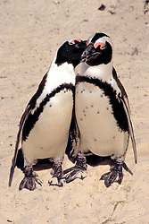 African Penguins Interacting