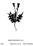 Silhouette of a Thistle (Tyrimnus leucographus) From the book Wild flowers of the Holy Land: Fifty-Four Plates Printed In Colours, Drawn And Painted After Nature. by Mrs. Hannah Zeller, (Gobat); Tristram, H. B. (Henry Baker), and Edward Atkinson, Published in London by James Nisbet & Co 1876 on white background