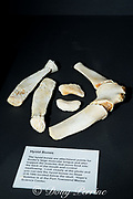 hyoid bones of three year old female orca or killer whale, Orcinus orca, supported the tongue, Friday Harbor Whale Museum, San Juan Islands, Washington, United States