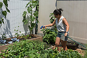 Queens, NY - 28 July 2019. Christina Chan watering her raised beds at Choy Division, a backyard farm in Astoria which specializes in Asian vegetables .