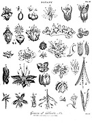 Genera of plants Copperplate engraving From the Encyclopaedia Londinensis or, Universal dictionary of arts, sciences, and literature; Volume III;  Edited by Wilkes, John. Published in London in 1810