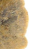 conifer mazegill<br /> Gloeophyllum sepiarium