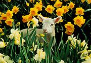 Spring lamb among daffodils, Geraldine, Canterbury