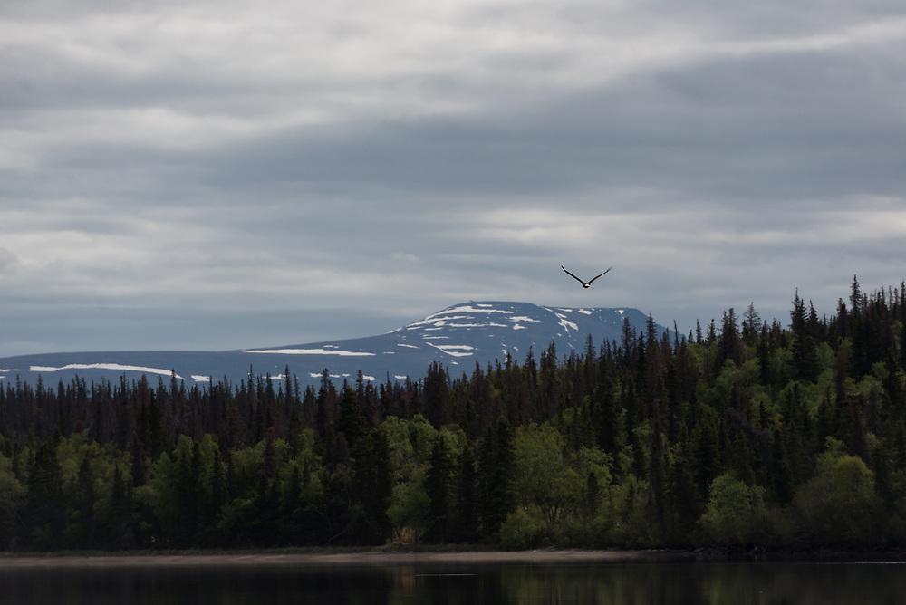 A bald eagle flies over Brooks Lake in Katmai National Park, Alaska