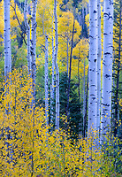 Colorful aspens and spruces in Colorado's San Juan Mountains, Colorado, USA