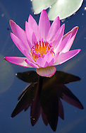 Bright pink water lily flower reflected on dark water