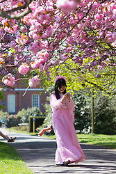 © Licensed to London News Pictures. 05/05/2016. People enjoy the beautiful cherry blossom in Greenwich Park. Credit : Rob Powell/LNP