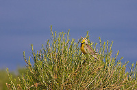 """Western Meadowlark (Sturnella neglecta)  A 9"""" bird.  Brownish above and yellow below with a black V on the breast.  Prefers meadows and grasslands.  Colorado, USA."""