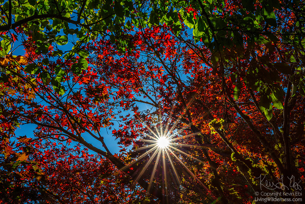 The early morning sun shines through the red autumn leaves of a maple tree in Snohomish County, Washington.