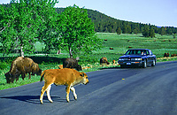 Bison Calf crossing the Wildlife Loop Road at Custer State Park, South Dakota.