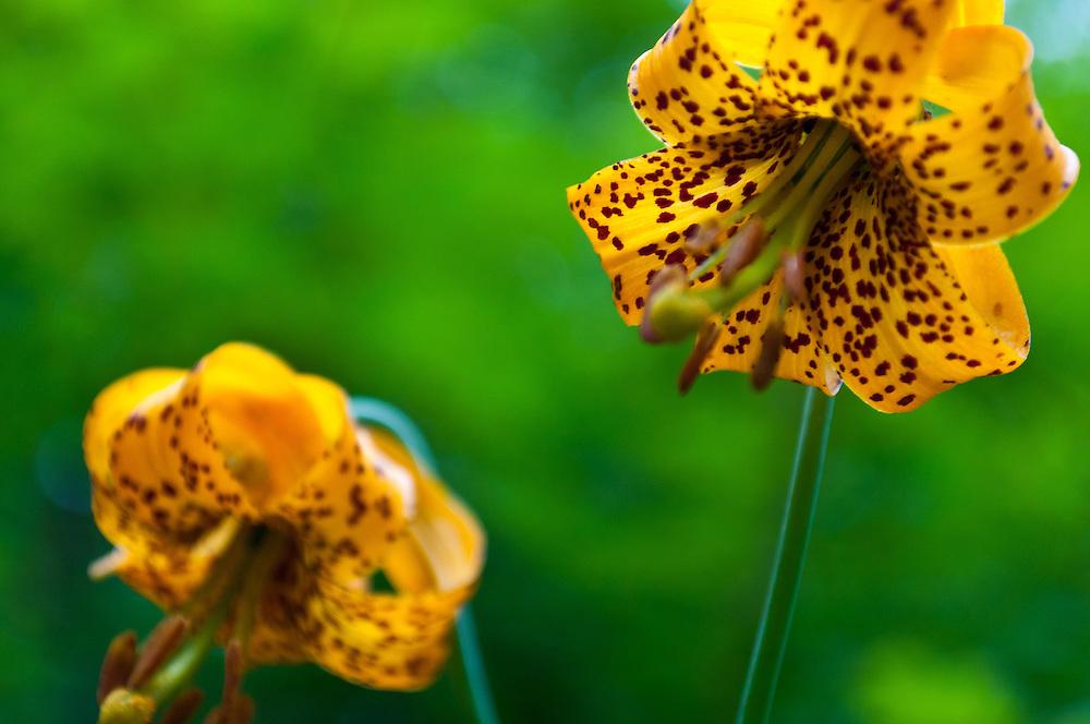 Tiger Lilies on Mt. Si, Washington