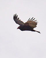 Turkey Vulture (Cathartes aura). Image taken with a Leica SL2 camera and 90-280 mm lens.