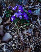 Birdfoot violet, Viola pedata, Petit Jean State Park, Arkansas.