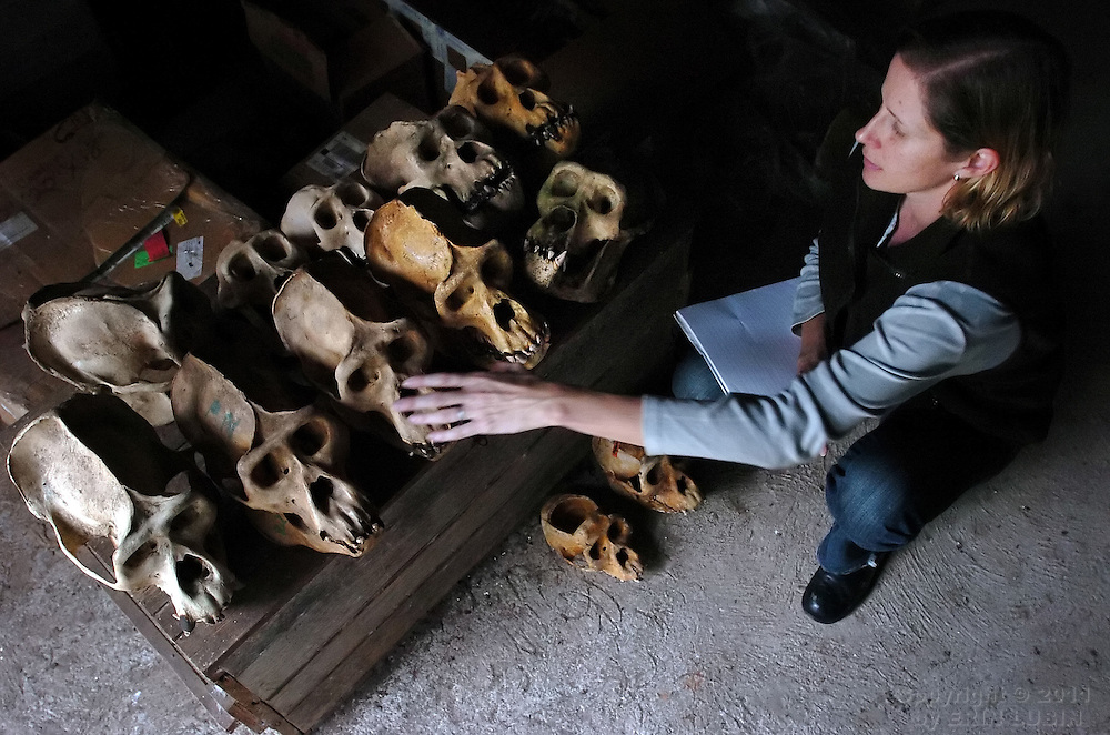 Veterinarian Felicia Nutter, identifies the skulls of  deceased mountain gorillas in Ruhengeri, Rwanda on October 23, 2006. Nutter and her husband, veterinarian Chris Whittier, then working with the Mountain Gorilla Veterinary Project, prepared a variety of mountain gorilla skulls for placement in a future natural history museum to be located in Kigali, Rwanda...Photograph by Erin Lubin