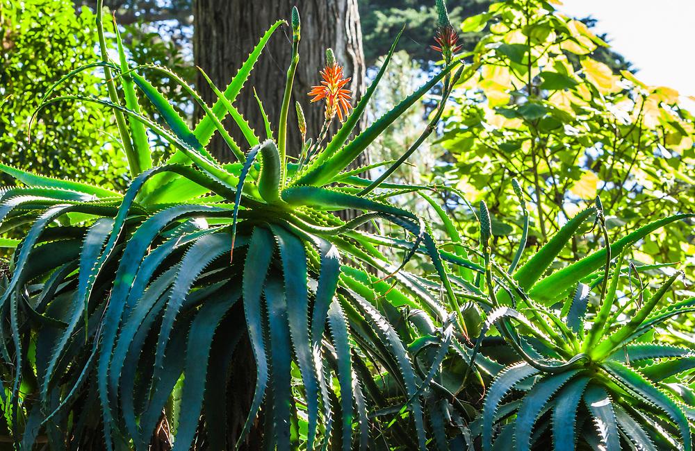 A flowering agave plant in the Golden Gate Park Botanical Gardens, San Fransisco, California, USA.